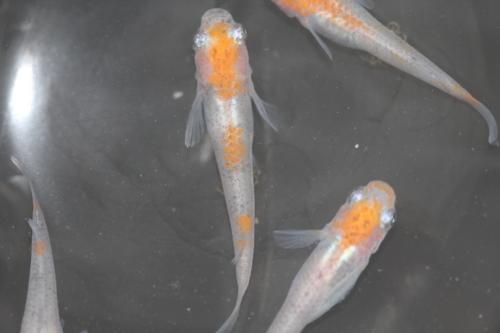 三色透明鱗メダカ