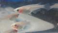 白透明鱗メダカ