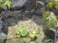 [メダカ][ビオトープ][和風][日本庭園]メダカ盆栽~もみじ~ メダカ増員01