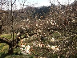 白梅はまだ1-2分咲き