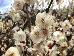 満開の白梅もありました