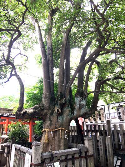 御神木のクロモチガネの画像