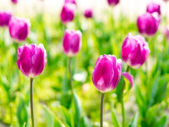 画像 写真 チューリップ ピンク 春