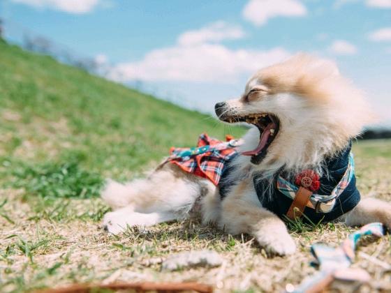 ポメラニアン あくび 空 草 画像 写真 犬