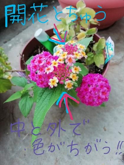 花の色変化中のランタナ