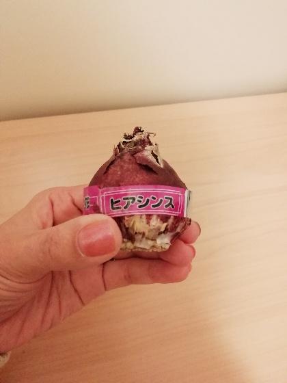ヒヤシンス(紫)の球根