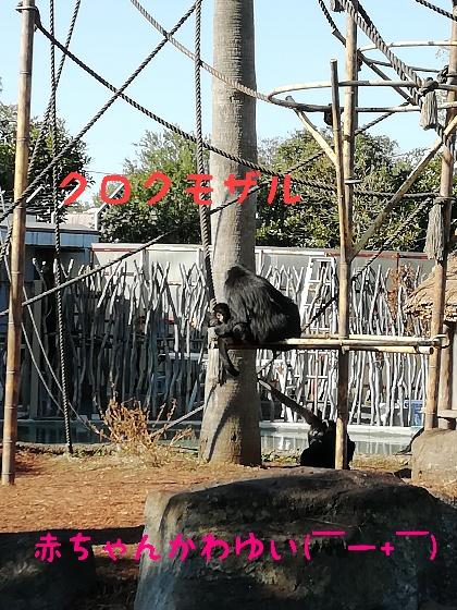 クロクモザル 熊本市動植物園