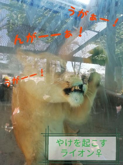 熊本市動植物園 ライオン メス