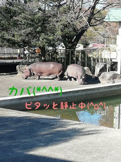 熊本市動植物園 カバ
