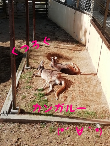熊本市動植物園 カンガルー
