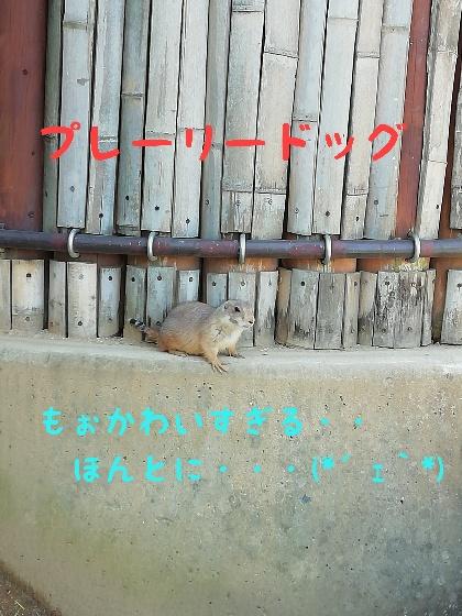 熊本市動植物園 プレーリードッグ