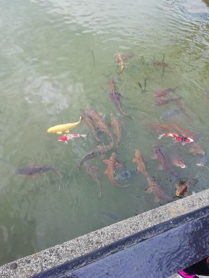黄金 鯉 画像 写真