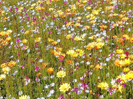春 花畑 美しい 写真 画像 黄色