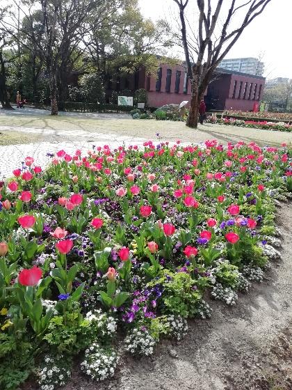 チューリップ 赤 春 写真 画像 花壇