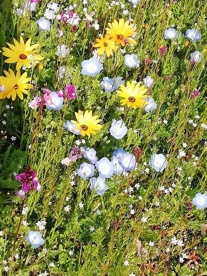 春 花 花壇 写真 画像 水色 黄色