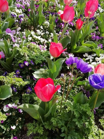 チューリップ 赤 画像 写真 花壇 美しい