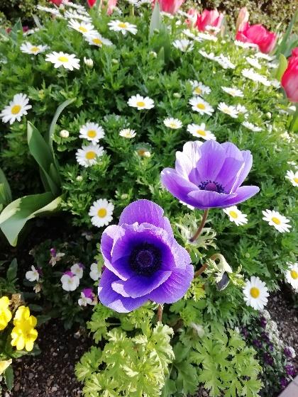 春 花 画像 紫 写真 マーガレット