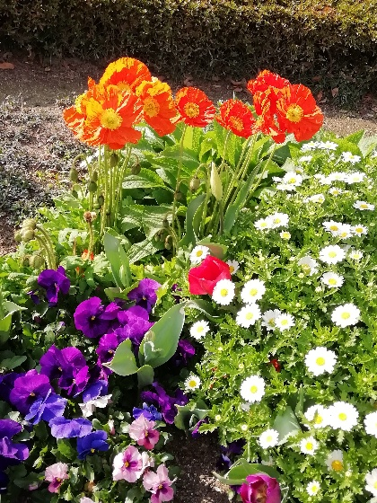 オレンジ 春 花 花壇 画像 写真