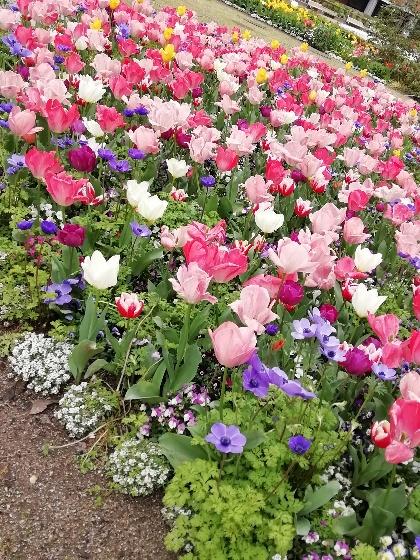 春 チューリップ 花壇 写真 画像 きれい ピンク