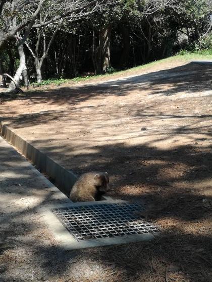 キャンプ アナグマ 遭遇 動物 かわいい 写真 画像