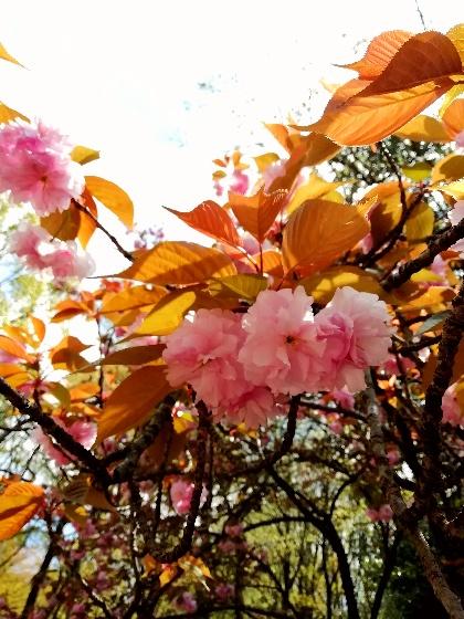 八重桜 きれい 春 写真 画像 キャンプ アウトドア 登山