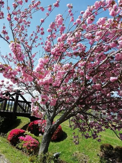 久留米ふれあい農業公園キャンプ場 八重桜 写真 画像 福岡県久留米市