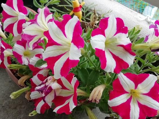 ペチュニア ピンク 白 画像 写真 かわいい サフィニア マーブル 春