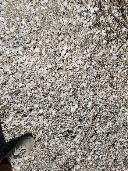 貝殻 海 貝 写真 画像 一面 下 歩く 白い