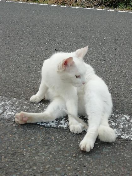野良猫 猫 白 かわいい 毛づくろい 写真 画像
