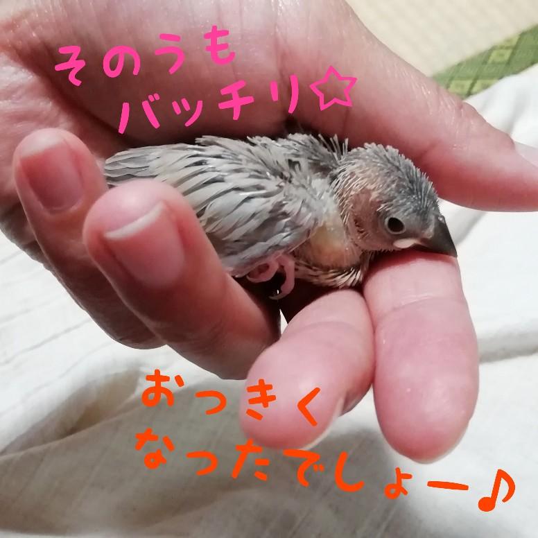 そのう 文鳥 桜文鳥 画像 写真 満腹 大きい ヒナ 挿し餌