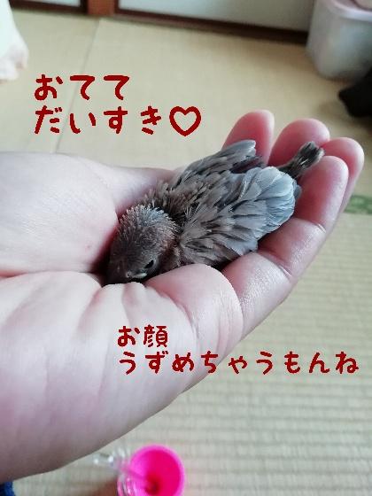 桜文鳥 ヒナ チョコ 手乗り 馴れる 画像 写真 かわいい