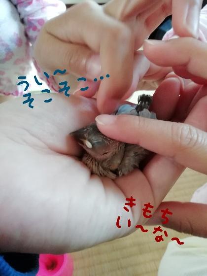 桜文鳥 なでる 馴れる 手乗り かわいい 画像 写真 チョコ ブログ ヒナ