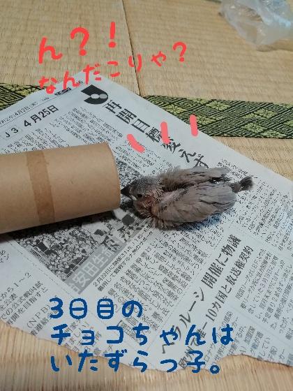 桜文鳥 チョコ ヒナ 手乗り 馴れてる かわいい 画像 写真 トイレットペーパー 芯 遊ぶ ブログ 好き