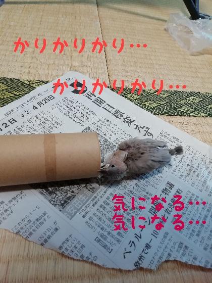 桜文鳥 なでる 馴れる 手乗り かわいい 画像 写真 チョコ ブログ ヒナ 遊ぶ トイレットペーパー 芯 好き