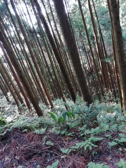 森林 雑木林 木々 立ち並ぶ 写真 画像 山