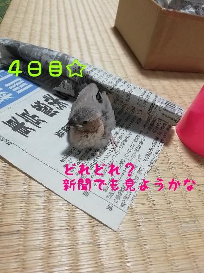 桜文鳥 ヒナ 新聞 読む 画像 写真 かわいい
