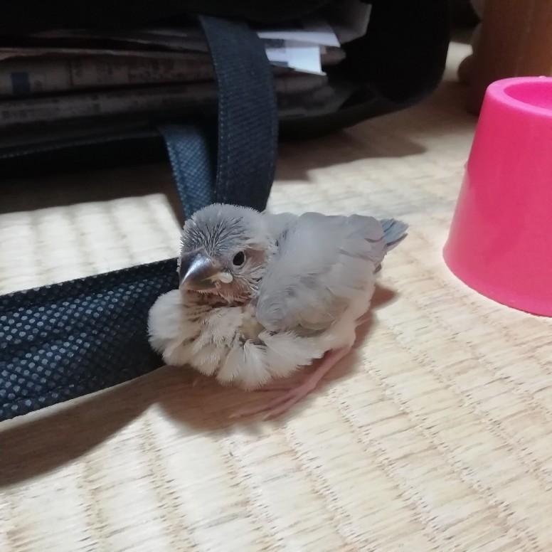 桜文鳥 ヒナ 生後 20日目 ふっくら かわいい 写真 画像