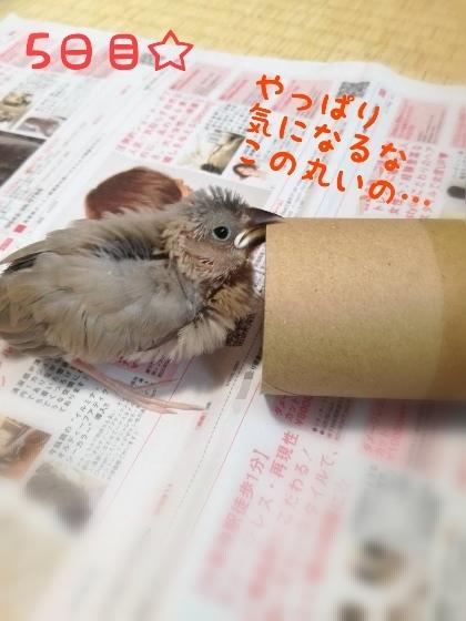 桜文鳥 ヒナ 21日目 写真 画像 かわいい トイレットペーパー 芯 好き 噛む