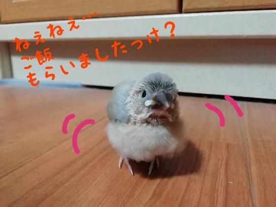 桜文鳥 ヒナ かわいい 食欲 止まらない 食いしん坊 写真 画像