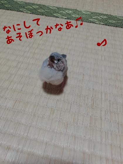 桜文鳥 ヒナ 退屈 かわいい 画像 写真 遊ぼう