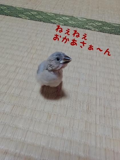桜文鳥 ヒナ お母さん 話しかける かわいい 画像 写真 質問