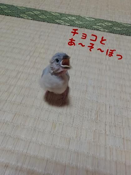 桜文鳥 ヒナ お誘い 遊ぼう かわいい 写真 画像