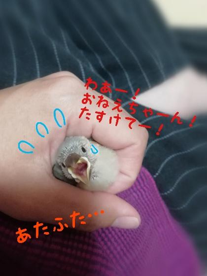 巻きずし 桜文鳥 ヒナ かわいい 写真 画像 焦る 手