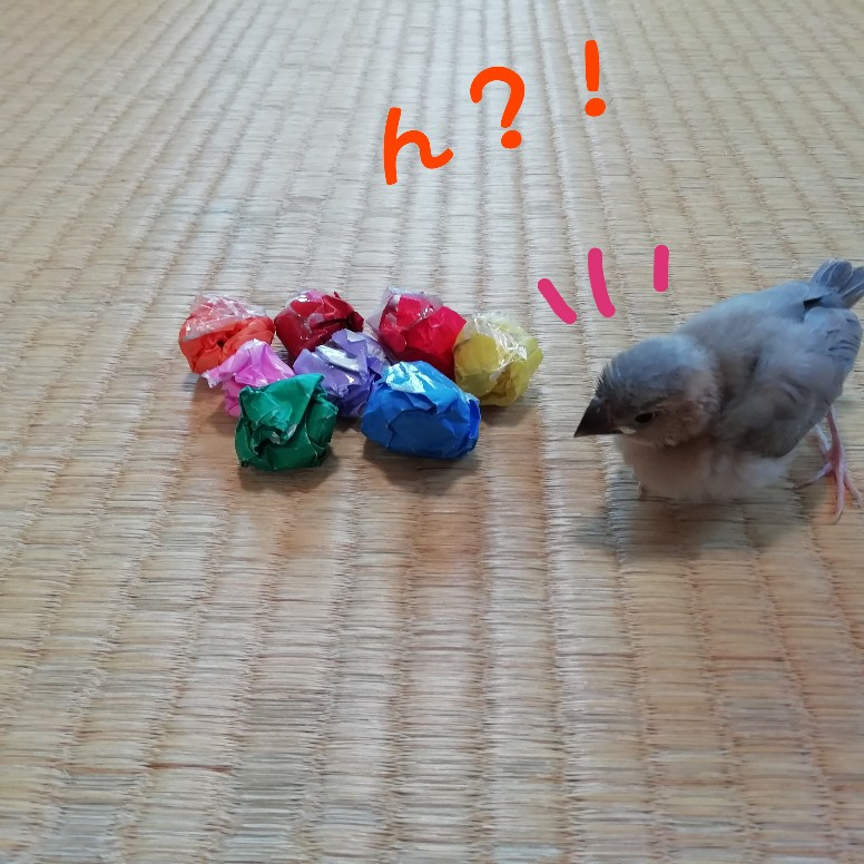 桜文鳥 ヒナ 折り紙 ボール 興味 かわいい 画像 写真
