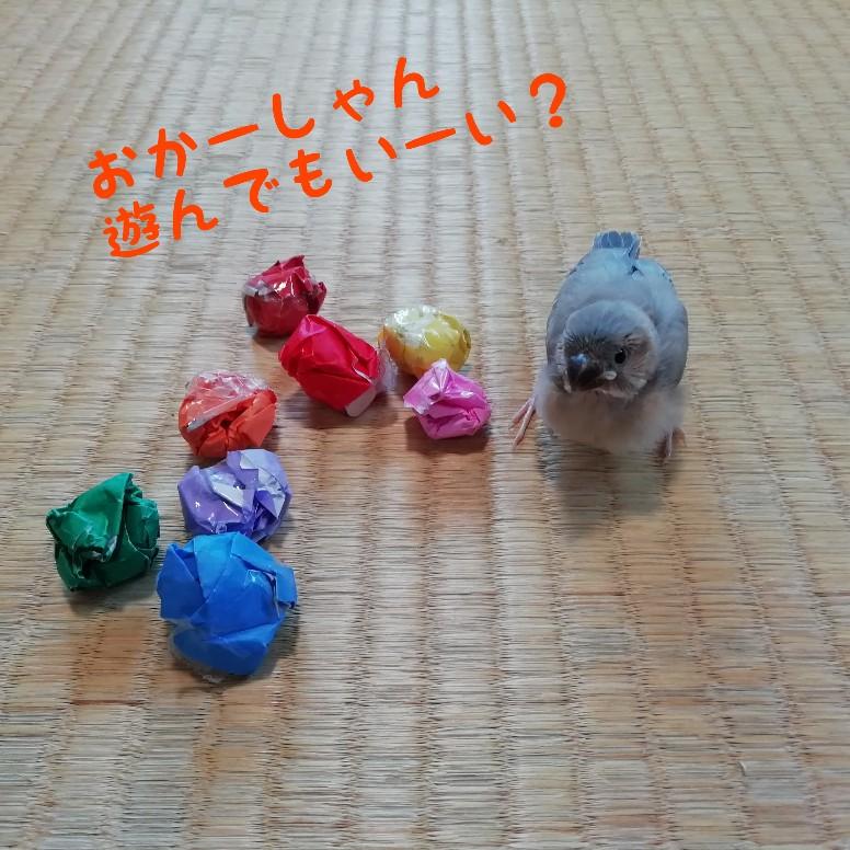 桜文鳥 ヒナ 写真 画像 折り紙 ボール かわいい
