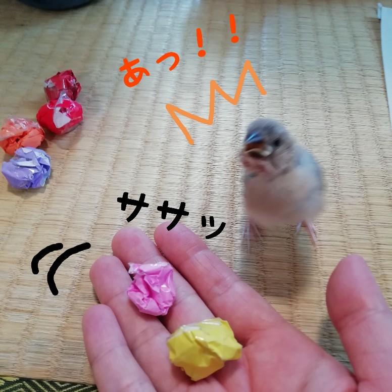 桜文鳥 ヒナ 写真 画像 かわいい 驚く こっちを見る ボール 折り紙 興味