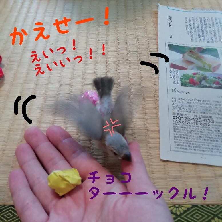 桜文鳥 写真 画像 かわいい 折り紙 遊ぶ ついてくる 飛ぶ ボール 手