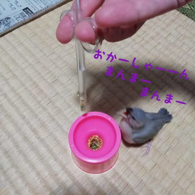 桜文鳥 ヒナ 挿し餌 欲しがる 食べる 写真 画像