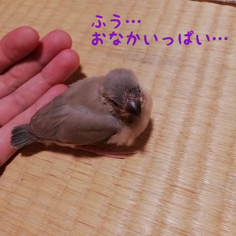 桜文鳥 ヒナ 満腹 お腹いっぱい 写真 画像 かわいい 丸くなる