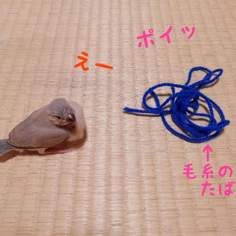 桜文鳥 ヒナ えー 毛糸 遊ぶ 写真 画像 渋る 丸い